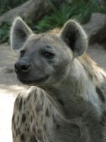 Spotted Hyena 27 by animalphotos