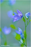 Chinese Bellflower by CecilyAndreuArtwork