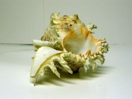 Conch Shell Stock13 by NoxieStock