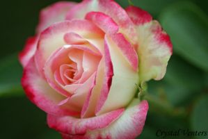 Pink N White Rose by poetcrystaldawn