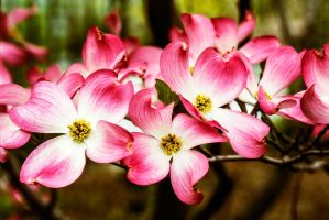 dogwood by cenevols
