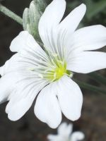 White flower by abc350