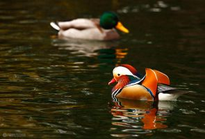 Colorful duck by adypetrisor