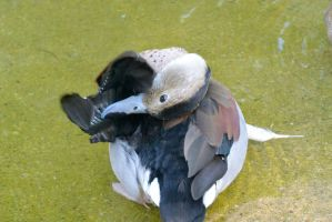 Stretch and Preen, Duck Bath by Miss-Tbones