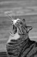 The Art of Yawning by cats III by pagan-live-style