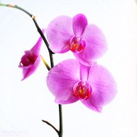 orchid by Vikarus