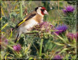 Goldfinch by maska13