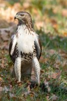 Red Tail Hawk 5 by bovey-photo