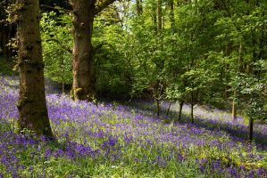 Bluebells and Beeches by parallel-pam