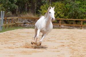 Arab gallop all legs up by Chunga-Stock