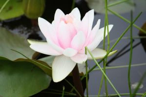 water lily 2513 by fa-stock