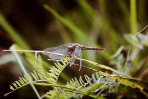 Dragonfly by annbuht