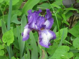 my 1st bearded iris of 2010 f by crazygardener