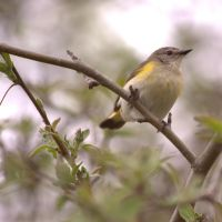 American Redstart by dove-51