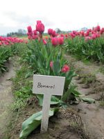 Bomerol Tulips by revenge-of-nerd-girl