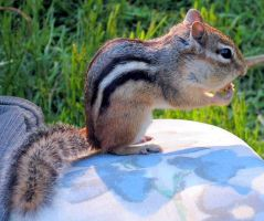 A Happy Chipmunk by JocelyneR
