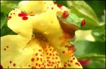 Red eyed tree frog on mimulus2 by AngiWallace