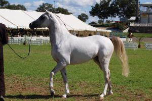 TW Arab white walking side on by Chunga-Stock