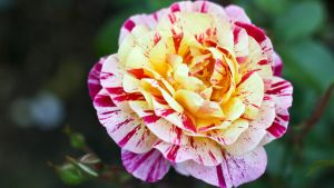 Portland Rose Gardens III by vmulligan