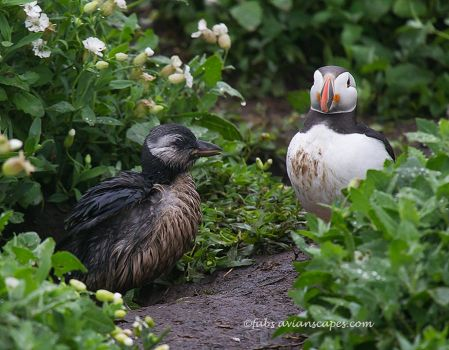 Atlantic Puffin and chick by FForns