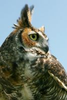 Great Horned Owl Profile by Kippenwolf