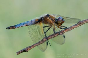 Orthetrum  cancellatum by Mantide