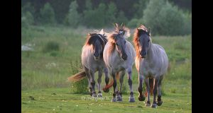 Chevaux de tarpan III by moem-photography