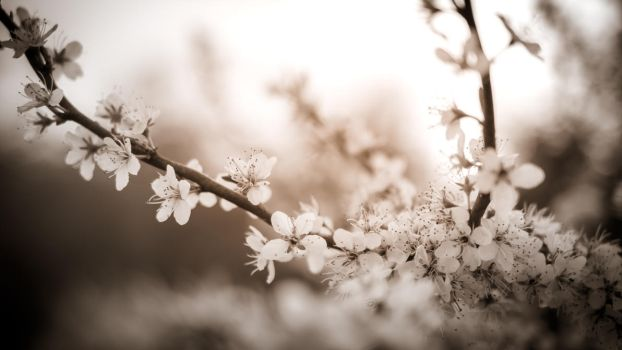 Blossoms 1 by LSDavid