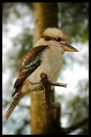 Kookaburra by Eternal-Polaroid