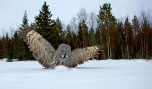 Great Grey Owl in wideangle by Mateuszkowalski