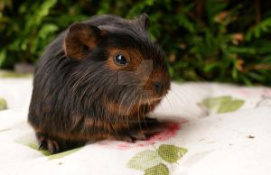 Little Guineapig by WolfsbeRoses