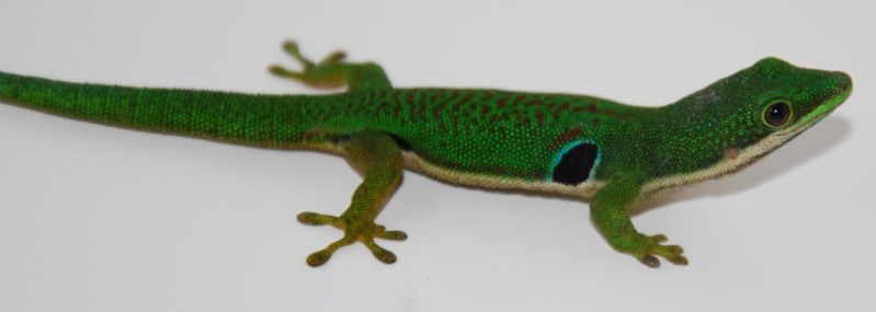peacock day gecko by depthofyoursoul