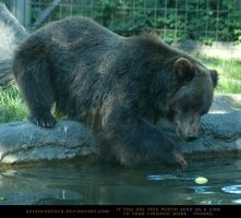 Grizzly Bear 3 by SalsolaStock