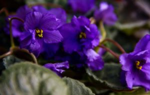 African violet in purple by lapis-lazuri