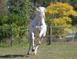 Horse stock - Arab rear-canter by Chunga-Stock