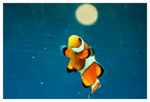 Orange clownfish by cristiandobre
