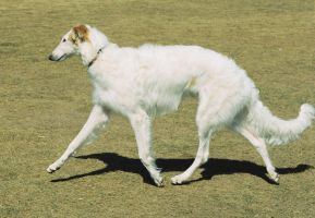 Borzoi by LoveForLukas