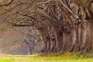 Beech tree Avenue by GMCPhotographics