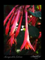 Honeysuckle Fuchsia by DistantVisions