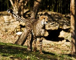 cheetah584 by redbeard31