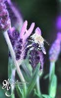 Blue Banded Bee on Lavender by Digimaree