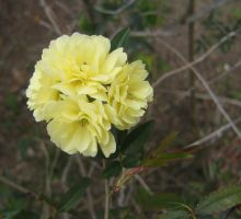yellow rosaceae 03 by CotyStock