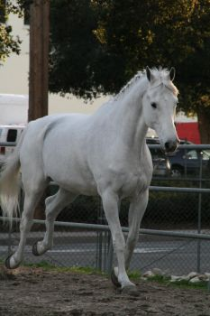 white horse stock 3 by Aestivall-Stock