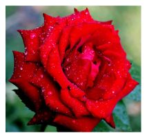 Roses 048_1 by ximocampo