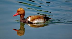 Red-crested Pochard by bianco-c