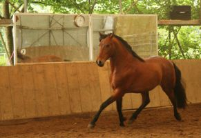 Lusitano horse stock by Nexu4
