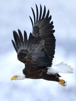 Bald Eagle in Flight by randallfinley
