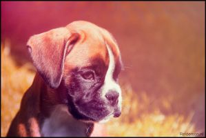 Boxer puppy in the sun by Relderson