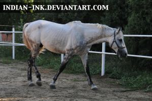 Dappled Grey Stallion 2 by Indian-Ink