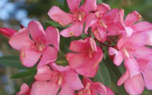 PINK FLOWERS by JUET